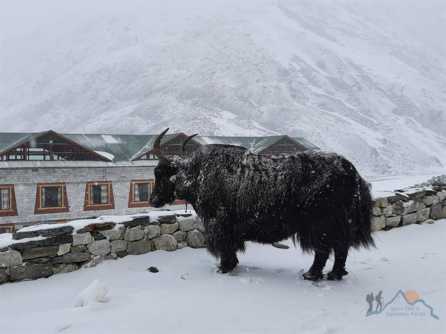 yak in the mountain